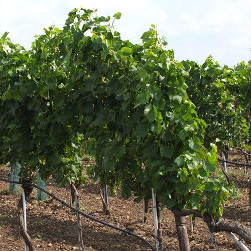 Ried des Weingut Kroiss Wien Illmitz